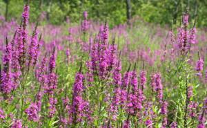 Lythrum_salicaria,_purple_loosestrife_5