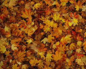 Autumn_Leaves_(coloured)